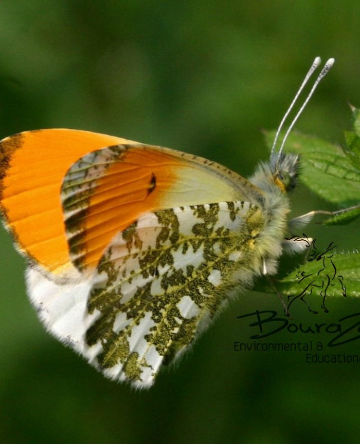 Orange Tip Anthocharis 2